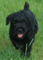 Sentinel Anna - Black Russian Terrier Puppy