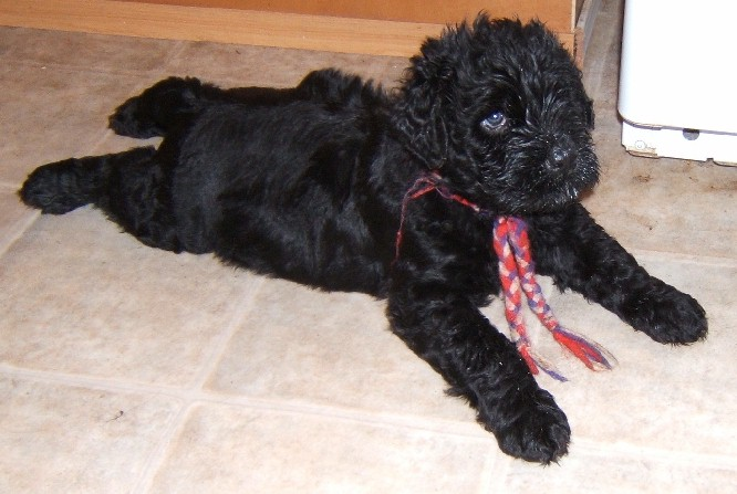 Maylish Medved - Black Russian Terrier Puppies