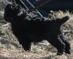 Black Russian Terrier Puppies
