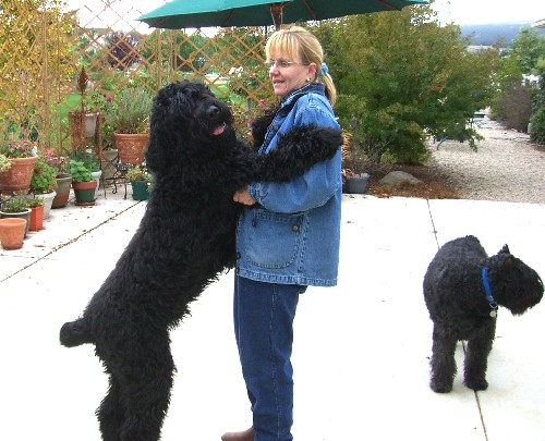 Black Russian Terrier - Maylish