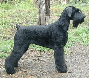 Black Russian Terrier - Giant Schnauzer