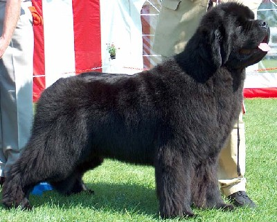 Black Russian Terrier - Newfoundland